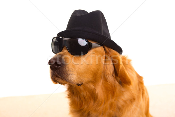 Dog as mafia gangster with black hat and sunglasses Stock photo © lunamarina