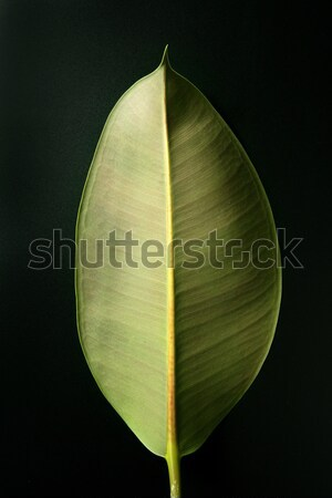 ficus green leaf in vibrant green, white studio background Stock photo © lunamarina
