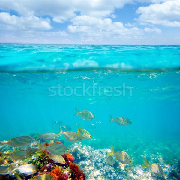 Mediterranean underwater with salema fish school Stock photo © lunamarina