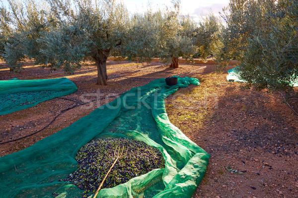 Măsline textură recoltare net furculiţă Imagine de stoc © lunamarina