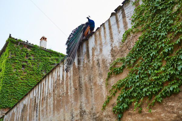 Caceres Peacock in old city wall at Extremadura Stock photo © lunamarina