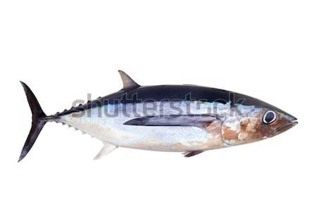 Ton balığı balık yalıtılmış gri doğa mavi Stok fotoğraf © lunamarina