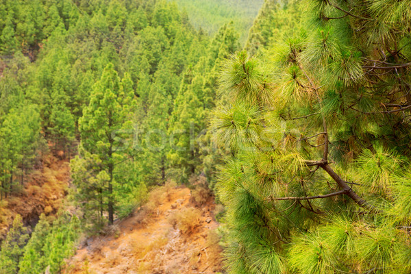 Park tenerife kanarie pine natuur bomen Stockfoto © lunamarina