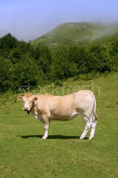 Beige vaches bovins manger vert prairie Photo stock © lunamarina