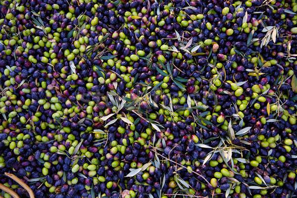 オリーブ テクスチャ 収穫 地中海 スペイン ツリー ストックフォト © lunamarina