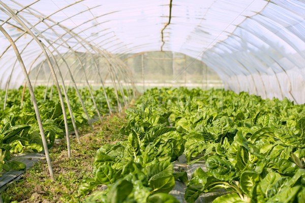 green chard cultivation in a hothouse field Stock photo © lunamarina