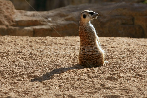 Madagascar Suricata on a clay landscape Stock photo © lunamarina