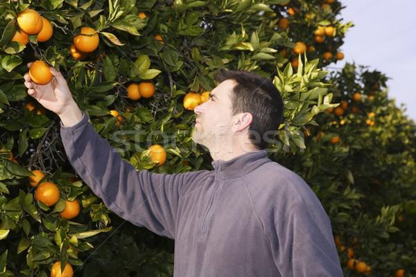 Narancsfa mező gazda aratás szőlőszüret gyümölcsök Stock fotó © lunamarina