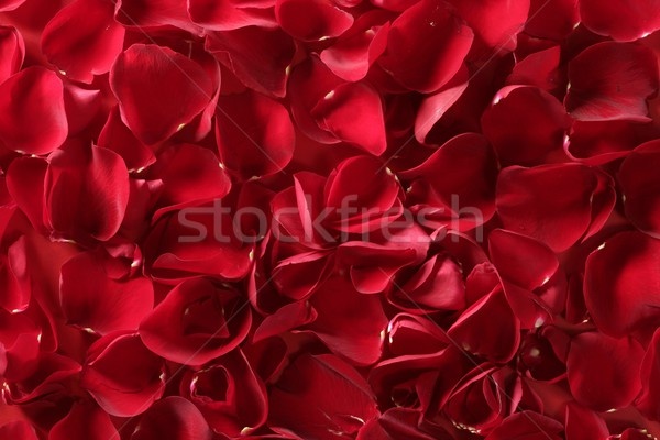 Rose Red pétales texture transparent fleurs printemps Photo stock © lunamarina
