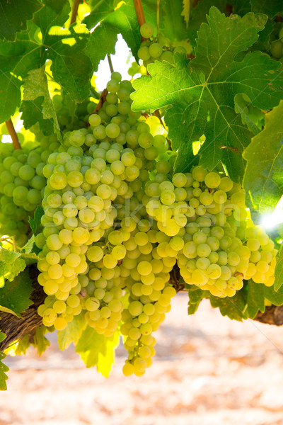 chardonnay Wine grapes in vineyard raw ready for harvest Stock photo © lunamarina