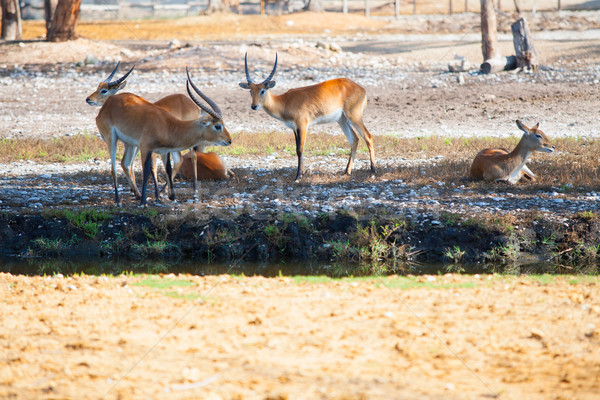 Antelopes having a rest in a park Stock photo © lunamarina