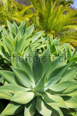 Agave cacto planta canárias la flor Foto stock © lunamarina