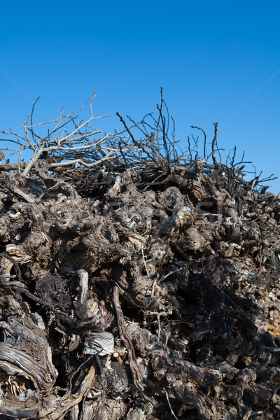 Dried vineyard firewood in Utiel Requena of Spain Stock photo © lunamarina