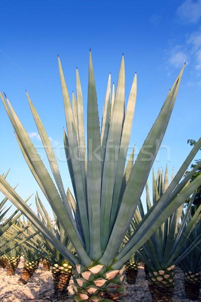 Agave planta mexicano tequila céu Foto stock © lunamarina