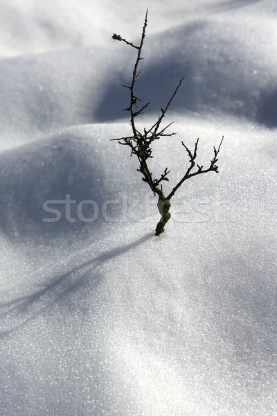 Kurutulmuş şube yalnız ağaç kar çöl Stok fotoğraf © lunamarina