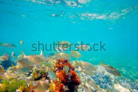 Akdeniz sualtı balık okul İspanya çim Stok fotoğraf © lunamarina