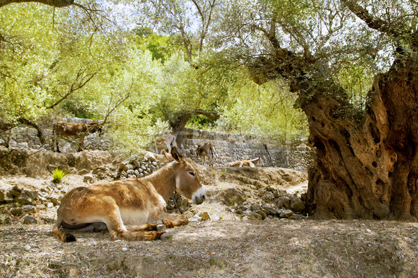 Donkey mule sitting in Mediterranean olive tree Stock photo © lunamarina
