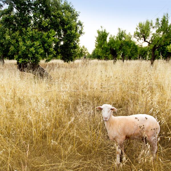 Mediterranean sheep on wheat and almond trees field Stock photo © lunamarina
