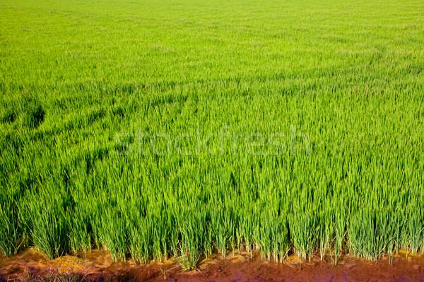 зеленая трава Валенсия Испания риса зерновых Сток-фото © lunamarina