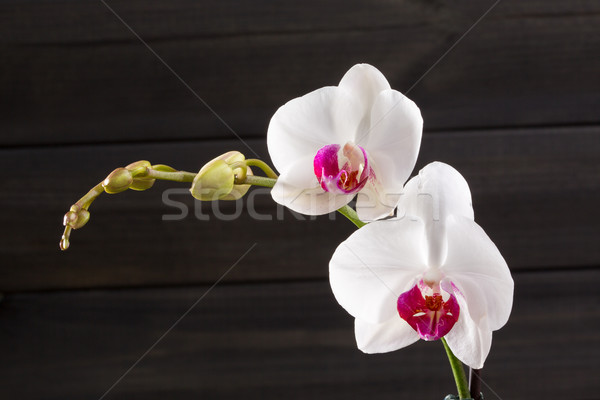 Közelkép fehér orchidea hibrid virág makró Stock fotó © lunamarina