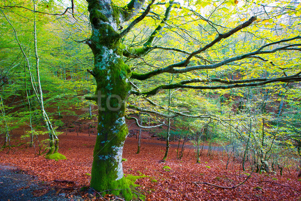 Autumn Selva de Irati beech jungle in Navarra Pyrenees Spain Stock photo © lunamarina