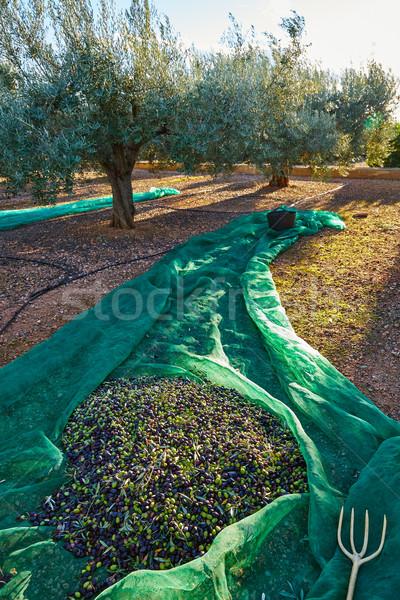 Azeitonas colheita com mediterrânico oliva Foto stock © lunamarina