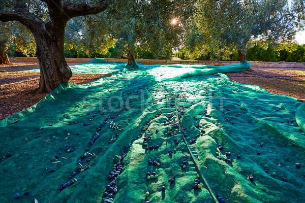 Aceitunas cosecha neto mediterráneo de oliva Foto stock © lunamarina