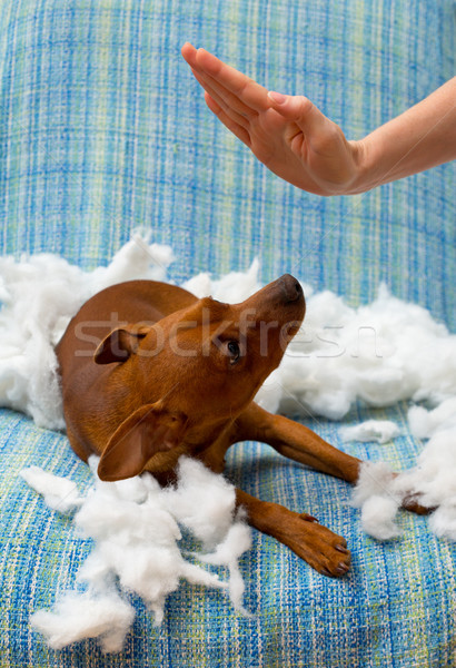 dog naughty puppy punished after bite a pillow Stock photo © lunamarina