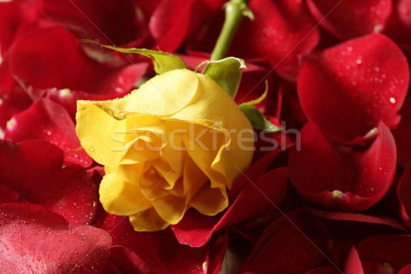 Beautiful yellow rose flower over red petals Stock photo © lunamarina