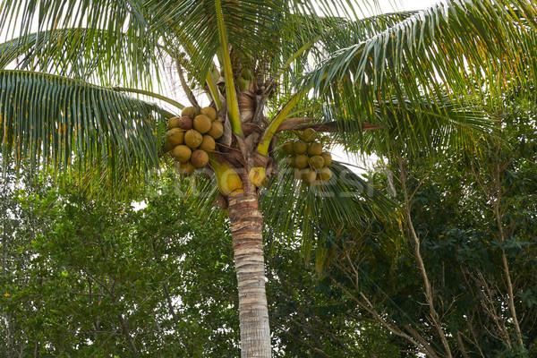 Floride île cocotier arbre arbres Palm Photo stock © lunamarina