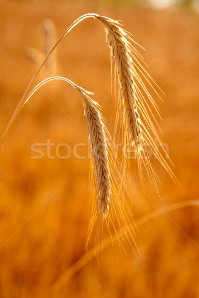 golden wheat two spikes of ripe cereal Stock photo © lunamarina