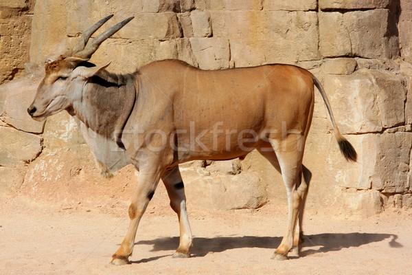 Eland Antelope in a hot environment Stock photo © lunamarina