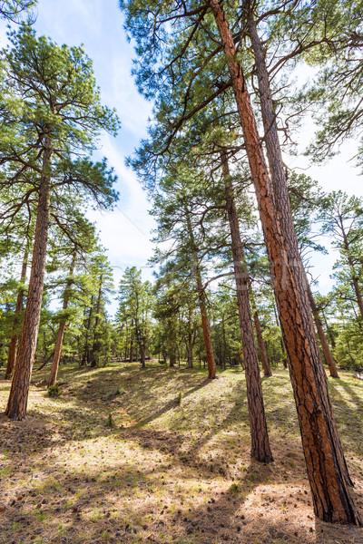 сосна лес Гранд-Каньон Аризона США небе Сток-фото © lunamarina