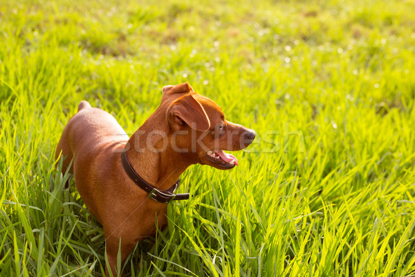 Stock photo: brown Dog mini pinscher in a green meadow
