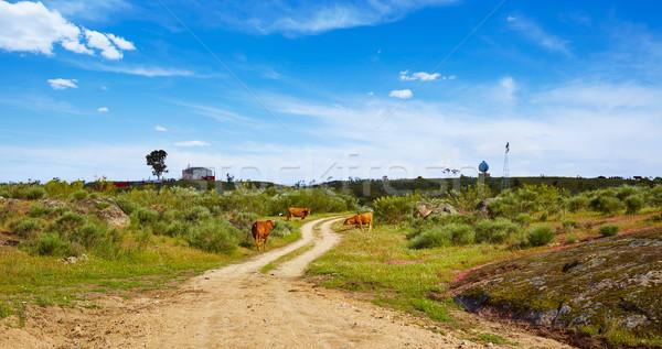 Tehén szarvasmarha LA út Spanyolország természet Stock fotó © lunamarina
