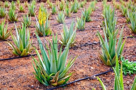 Aloe Vera fields in Lanzarote Orzola at Canaries Stock photo © lunamarina