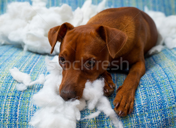Stock photo: naughty playful puppy dog after biting a pillow