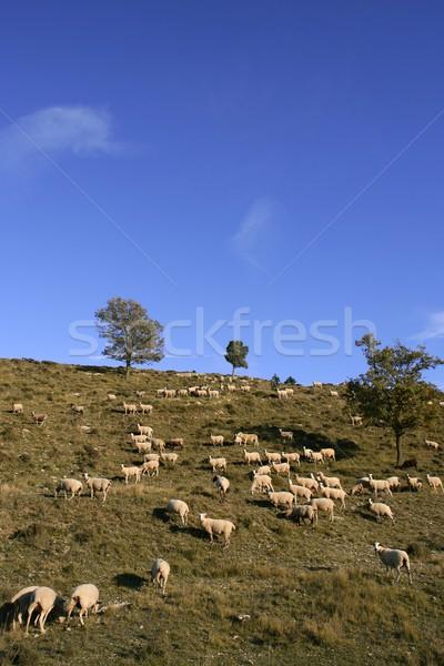 Schapen berg kant voorjaar Stockfoto © lunamarina