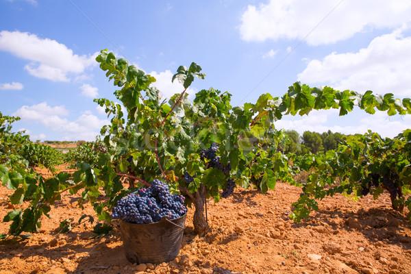 bobal harvesting with wine grapes harvest Stock photo © lunamarina