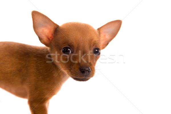 Kutyakölyök díszállat kutya kutyus portré fehér Stock fotó © lunamarina