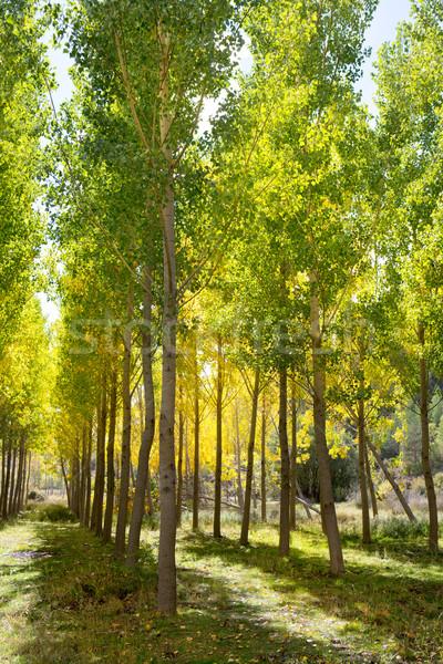 Autumn early fall forest with yellow poplar trees Stock photo © lunamarina