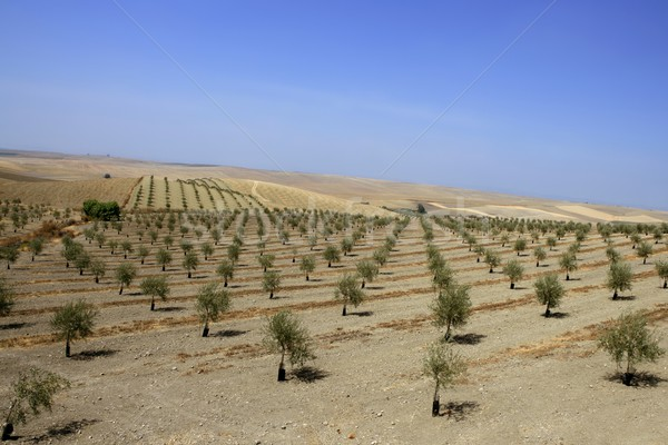 Zielone oliwy dziedzinie lata Hiszpania Zdjęcia stock © lunamarina