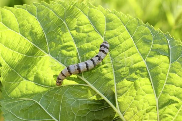 silkworm ringed silk worm on mulberry green leaf Stock photo © lunamarina