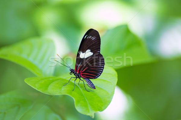 Czerwony listonosz Motyl zielony liść zewnątrz charakter Zdjęcia stock © lunamarina