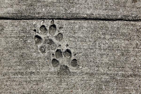 dog footprints printed in sidewalk concrete Stock photo © lunamarina