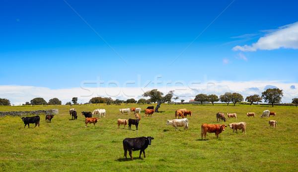 Salamanca grassland cows cattle in Dehesa Stock photo © lunamarina