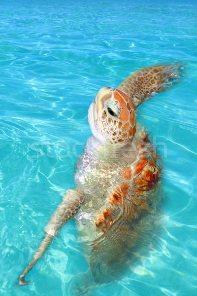 Green sea Turtle Chelonia mydas  Caribbean Stock photo © lunamarina