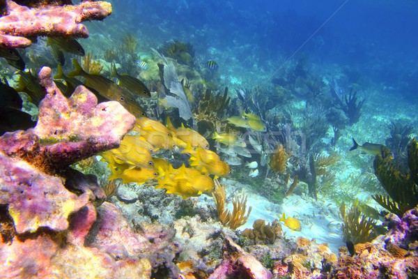 coral caribbean reef Mayan Riviera Grunt fish Stock photo © lunamarina