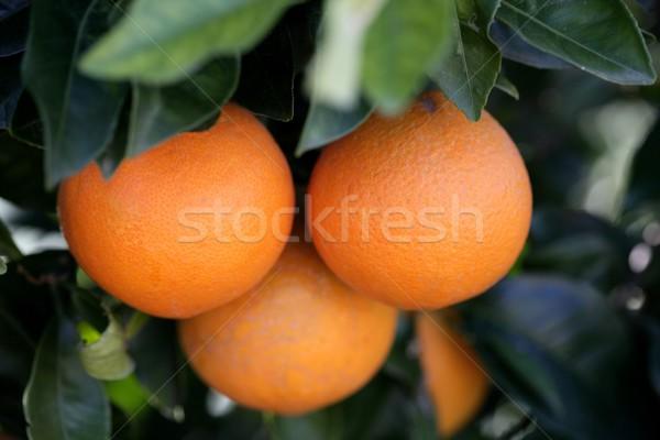 Három narancsok növekvő narancsfa Valencia Spanyolország Stock fotó © lunamarina