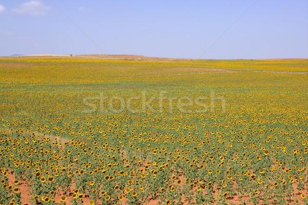 Girassol plantação vibrante flores amarelas colorido céu Foto stock © lunamarina